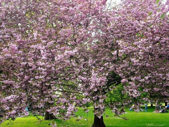 Blühende japanische Kirschbäume - Marzahner Gärten