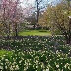Narzissen und Kirschblütenbäume